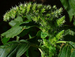Pigweed, Quelle: Wikicommoms